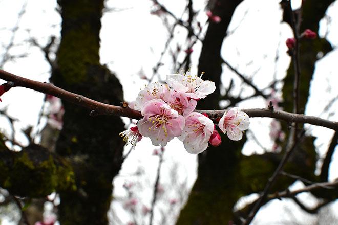 DSC 2771 - 【福岡・久留米】梅をもとめてお散歩。筑後川沿いでのんびりと 梅林寺外苑・筑後川