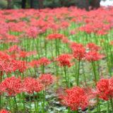 DSC 0129 160x160 - 八千代市「新川千本桜」のソメイヨシノが満開!