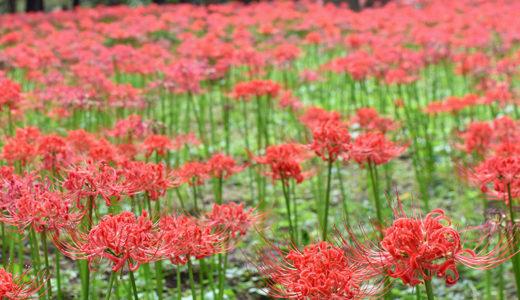 彼岸花の見方が変わる! 村上緑地公園に彼岸花を見に行ったらその美しさに開眼した。