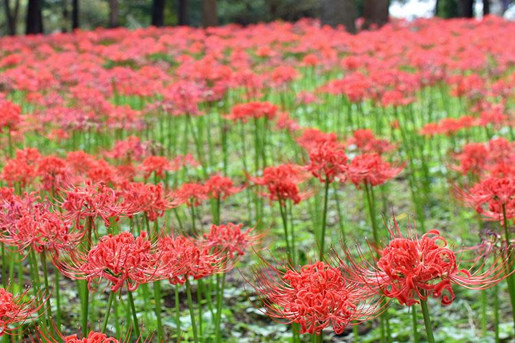 DSC 0129 - 彼岸花の見方が変わる! 村上緑地公園に彼岸花を見に行ったらその美しさに開眼した。