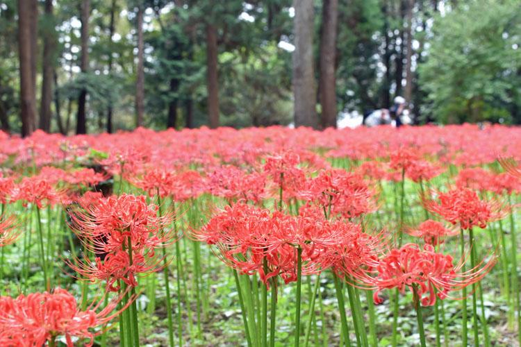 DSC 0133 - 彼岸花の見方が変わる! 村上緑地公園に彼岸花を見に行ったらその美しさに開眼した。