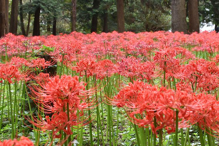 DSC 0135 - 彼岸花の見方が変わる! 村上緑地公園に彼岸花を見に行ったらその美しさに開眼した。