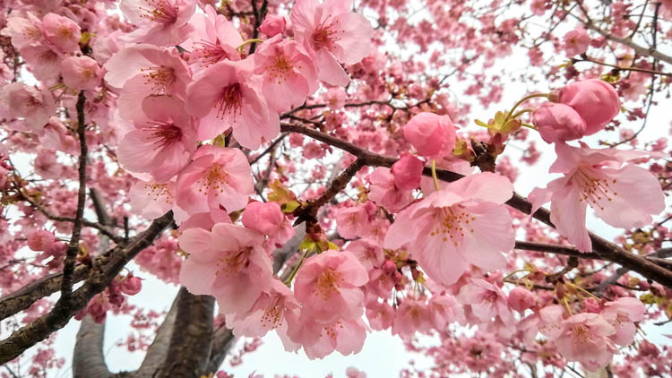 3260358 m - 八千代市「新川千本桜」のソメイヨシノが満開!