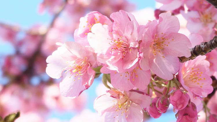 4547756 m - 八千代市「新川千本桜」のソメイヨシノが満開!