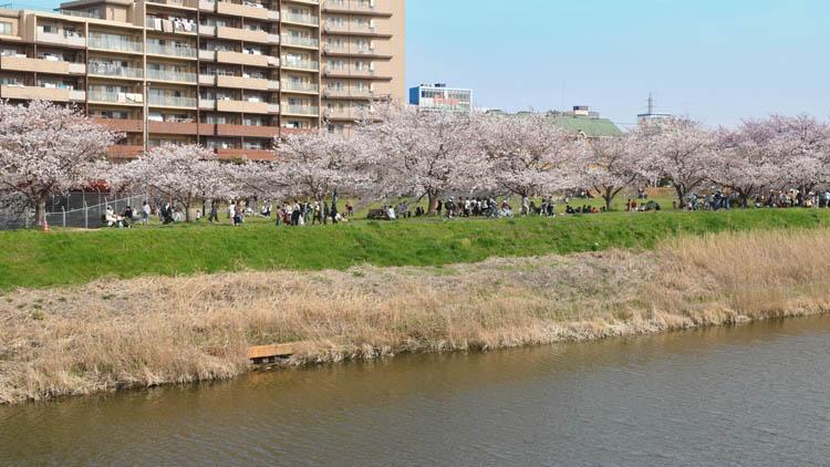 DSC 0010 - 八千代市「新川千本桜」のソメイヨシノが満開!