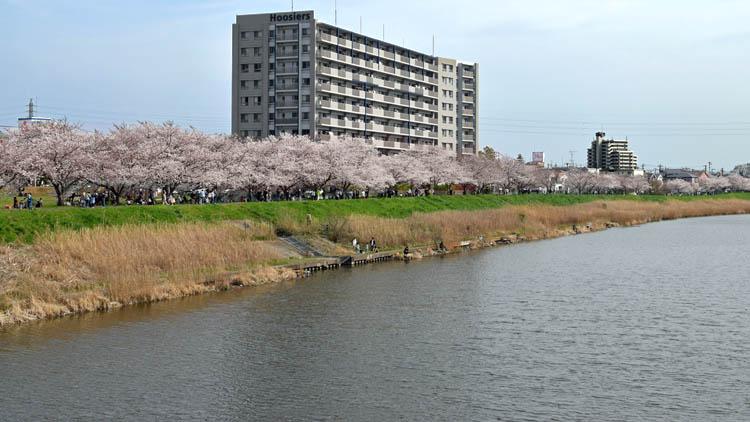 DSC 0012 - 八千代市「新川千本桜」のソメイヨシノが満開!