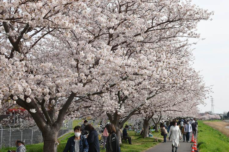 DSC 0023 1 - 八千代市「新川千本桜」のソメイヨシノが満開!