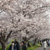 DSC 0023 160x160 - 八千代市「新川千本桜」のソメイヨシノが満開!