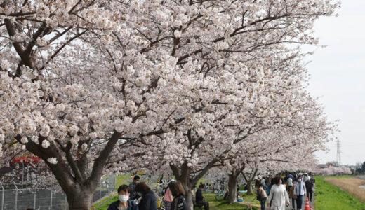 八千代市「新川千本桜」のソメイヨシノが満開!