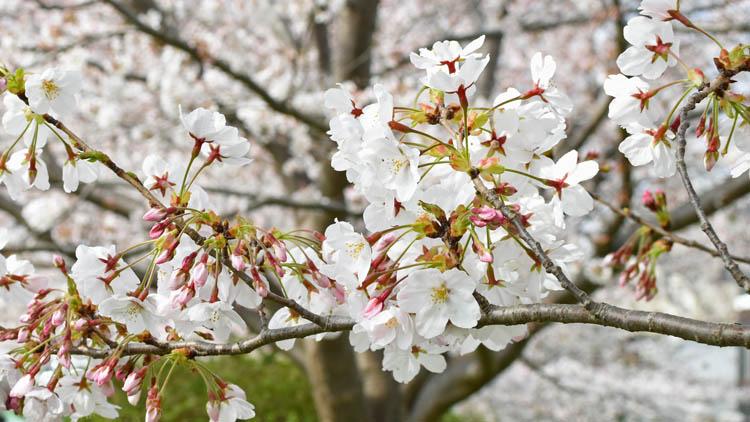 DSC 0038 - 八千代市「新川千本桜」のソメイヨシノが満開!