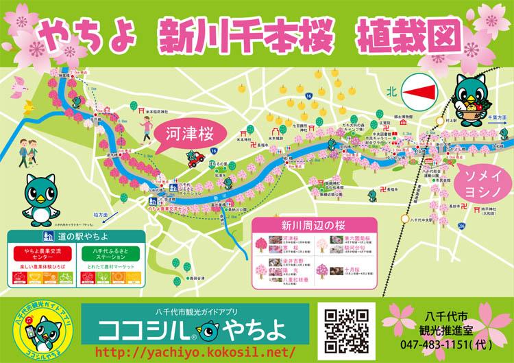 kokosiru sakura - 八千代市「新川千本桜」のソメイヨシノが満開!